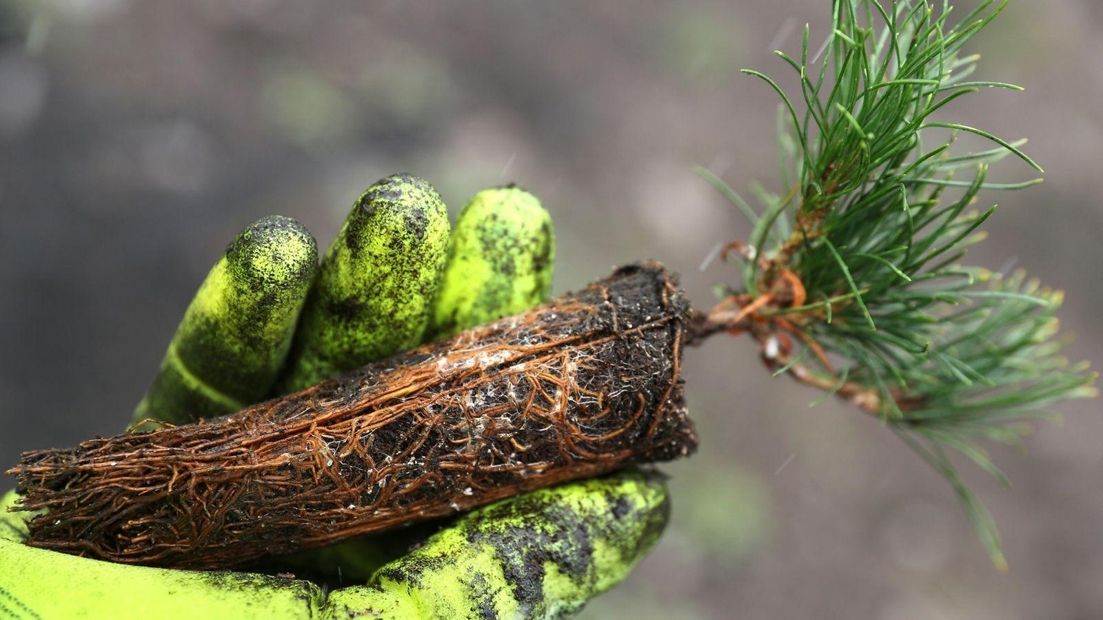 Un miembro del Servicio de Parques de EE. UU. muestra una plántula de pino de corteza ...