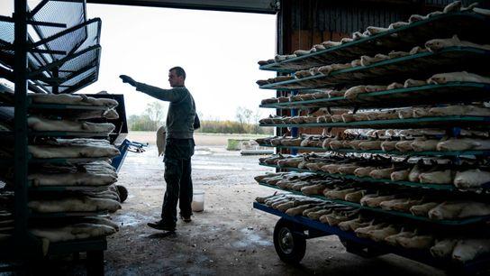 El año pasado, Dinamarca mató a todos los visones en cautiverio (millones) luego de que una ...