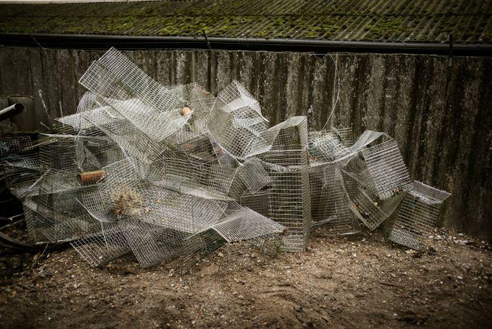 Más de 200 granjas de visones en Dinamarca, casi un quinto del total del país, habían ...