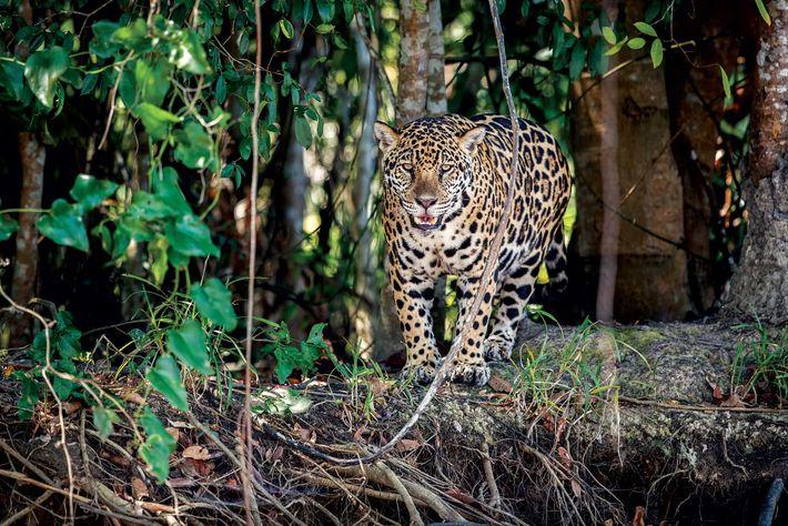 La mayoría de los jaguares tienen manchas amarillas; algunos tienen un pelaje melanístico, o todo negro, ...