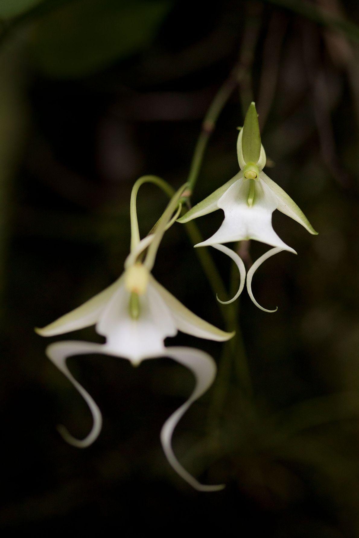 Los científicos buscan proteger a la extraña orquídea fantasma de Florida