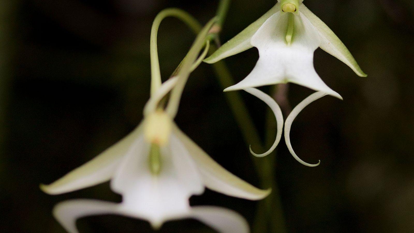 La rara orquídea fantasma crece principalmente en tres áreas protegidas en el sur de Florida. Sus ...
