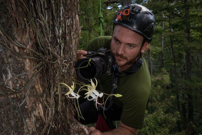 """El biólogo Peter Houlihan inspecciona la """"superfantasma"""" a 15 metros de altura en un ciprés calvo."""