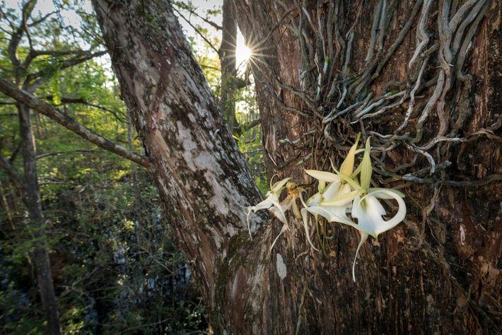 """La """"superfantasma"""", la mayor orquídea fantasma silvestre que se ha registrado en el sur de Florida, ..."""