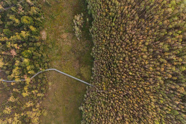 Un camino de madera recorre el refugio del pantano de Corkscrew y sus prados húmedos, pantanos ...