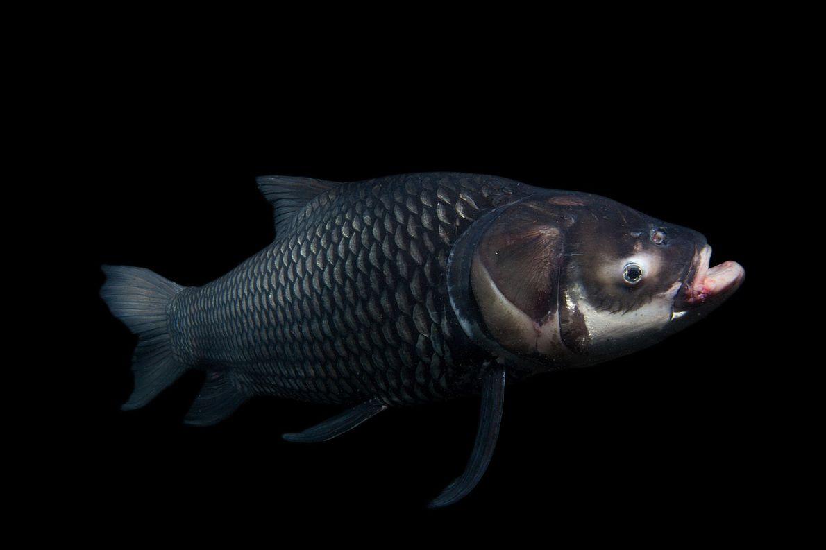 El río Mekong en el sudeste asiático alberga a muchos de los peces de agua dulce ...