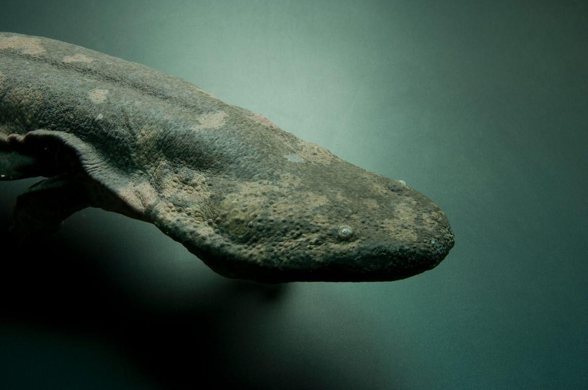 La salamandra gigante china en peligro crítico, fotografiada aquí en el zoológico de Atlanta, es el ...