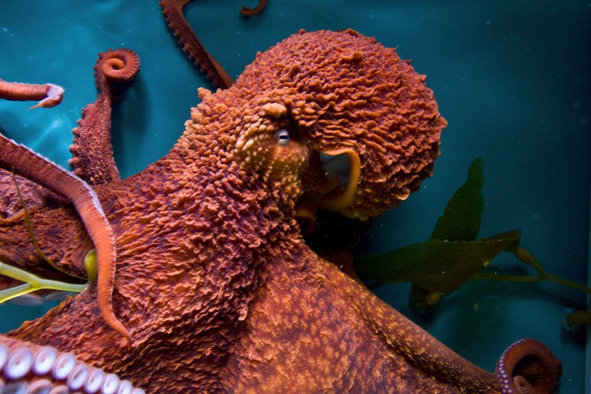 Los pulpos gigantes del Pacífico han aprendido a abrir frascos, imitar a otros pulpos y resolver ...