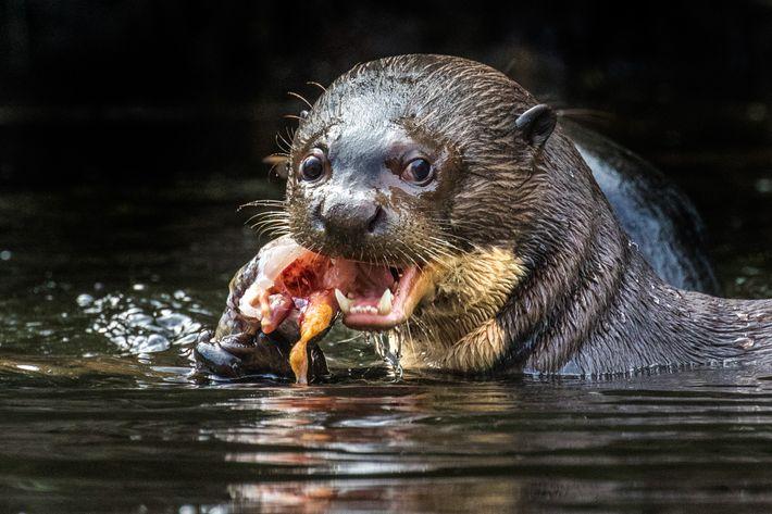 La nutria gigante de río vive en los ríos, lagos y pantanos de lento movimiento de ...
