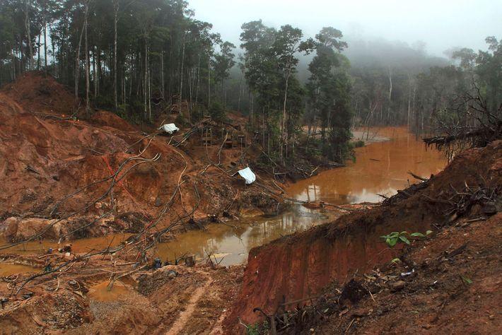 La industria minera en el interior de Surinam ha reducido el hábitat de los jaguares, lo ...
