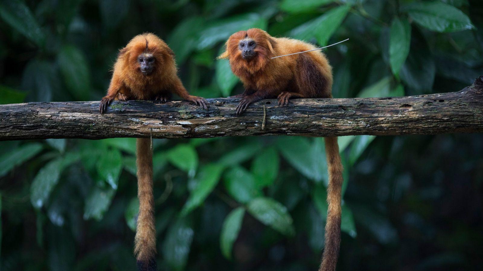 Dos ejemplares de tití león dorado, especie en peligro de extinción, sobre una rama en la ...