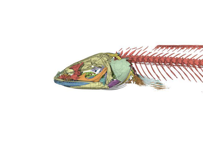 Una imagen hecha por computadora del esqueleto de la cabeza de serpiente de Gollum. Los estudios de ...