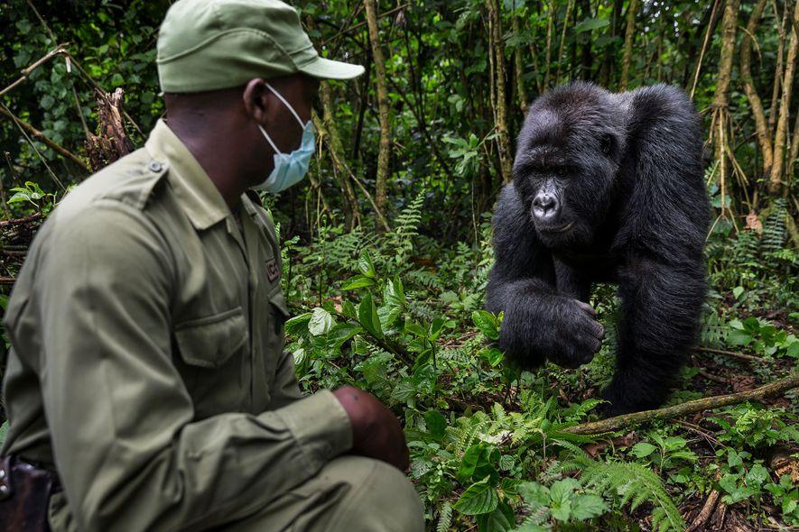 Innocent Mburanumwe, director del Parque Nacional Virunga, usa una máscara cuando está cerca de gorilas para ...