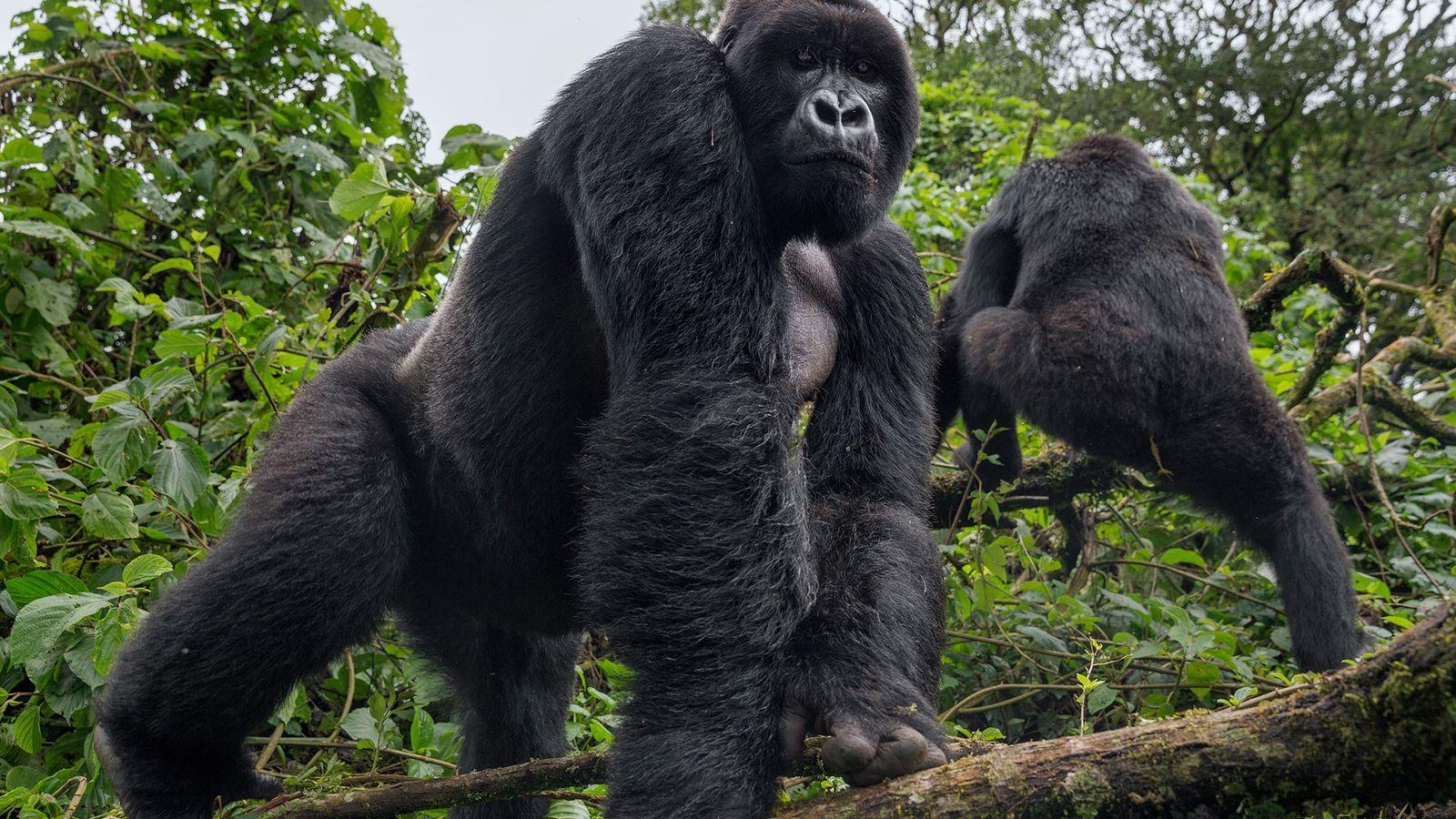 Un gorila de espalda plateada en el Virunga National Park observa una patrulla de guardabosques. Cuando ...