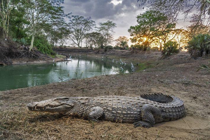 Un cocodrilo descansa en el parque nacional de Gorongosa en Mozambique, donde el futuro de la ...