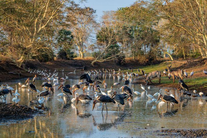 A finales de la estación seca en Gorongosa, un estanque en un canal del río Mussicadzi ...