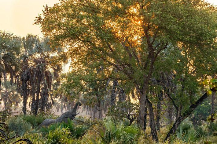 Un elefante macho se alimenta en el parque nacional de Gorongosa, en Mozambique. La mayoría de ...