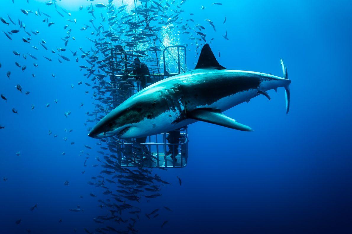 Gran tiburón blanco. Isla de Guadalupe, México.