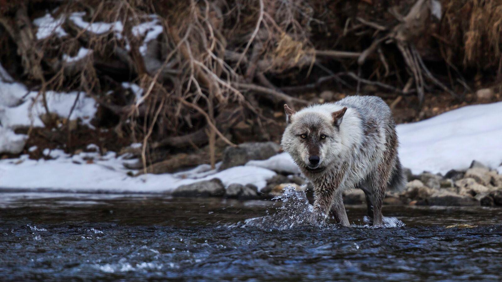 En noviembre, los electores de Colorado aprobaron una medida para reinsertar en el territorio a los ...