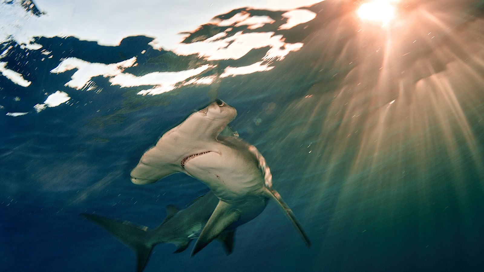 Un tiburón martillo gigante nada en las Bahamas. La especie se encuentra en peligro crítico de ...