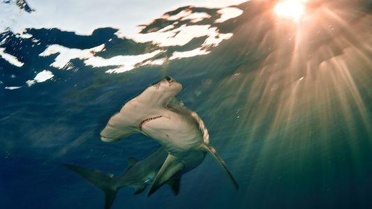 Tiburones y rayas en peligro: sus poblaciones han disminuido un 70 por ciento en los últimos ...