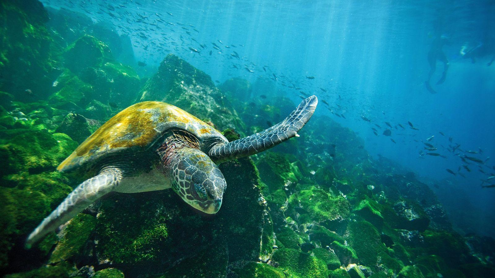 green-sea-turtle-isabela-island-galapagos