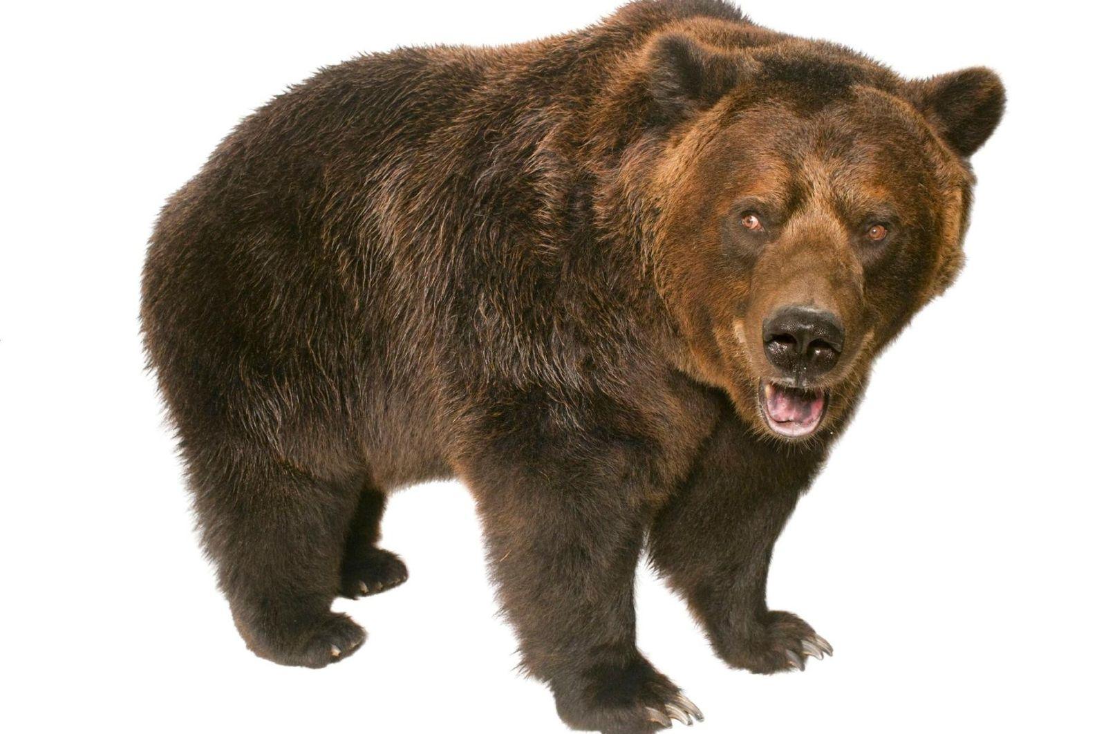 Los osos grizzly vivieron en gran parte del oeste de América del Norte hasta que los ...