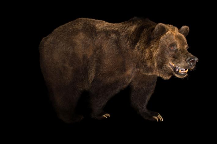 Aunque las medidas de conservación han ayudado a aumentar su número, los osos grizzly siguen en ...