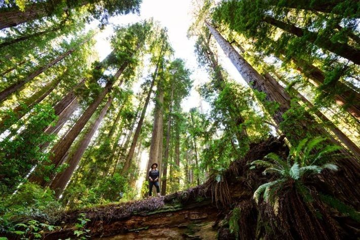 Cheatham Grove, un conjunto de secuoyas antiguas, está cerca deCrescent City, California.Estos árboles se usaron como ...