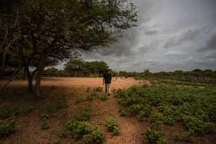 Juan Carlos González, otro agricultor Wayuu, camina junto a sus pequeños cultivos de frijoles. González ha ...