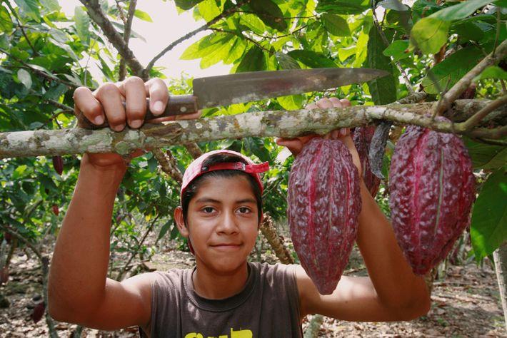 El fruto del cacao, listo para ser cosechado en una finca de cacao en Ecuador.
