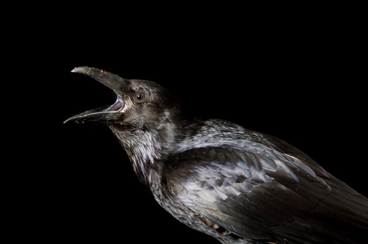 """CUERVOS - """"Teniendo en cuenta sus brillantes plumas negras, sus ojos pequeños y su hábito de ..."""