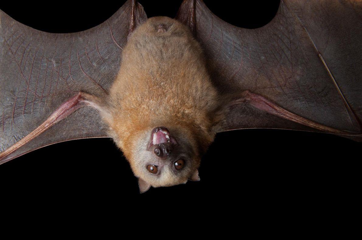 MURCIÉLAGOS - Al ser los únicos mamíferos capaces de volar, en épocas antiguas, los murciélagos eran ...