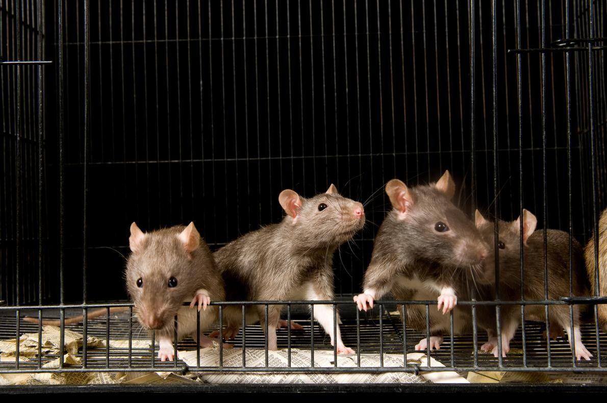 """RATAS - """"En la antigüedad, las ratas eran conocidas por infestar lugares abandonados, sucios o en ..."""