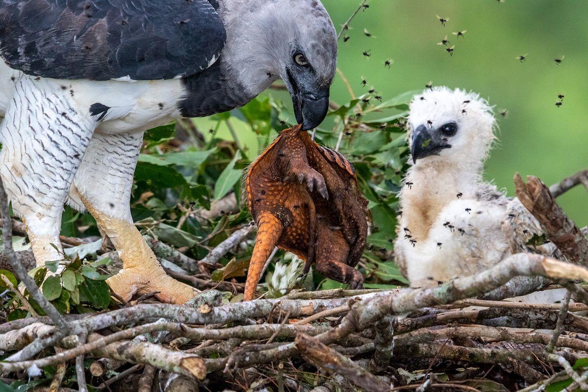 Un águila arpía proporciona un armadillo recién matado como comida para su polluelo hambriento en la ...