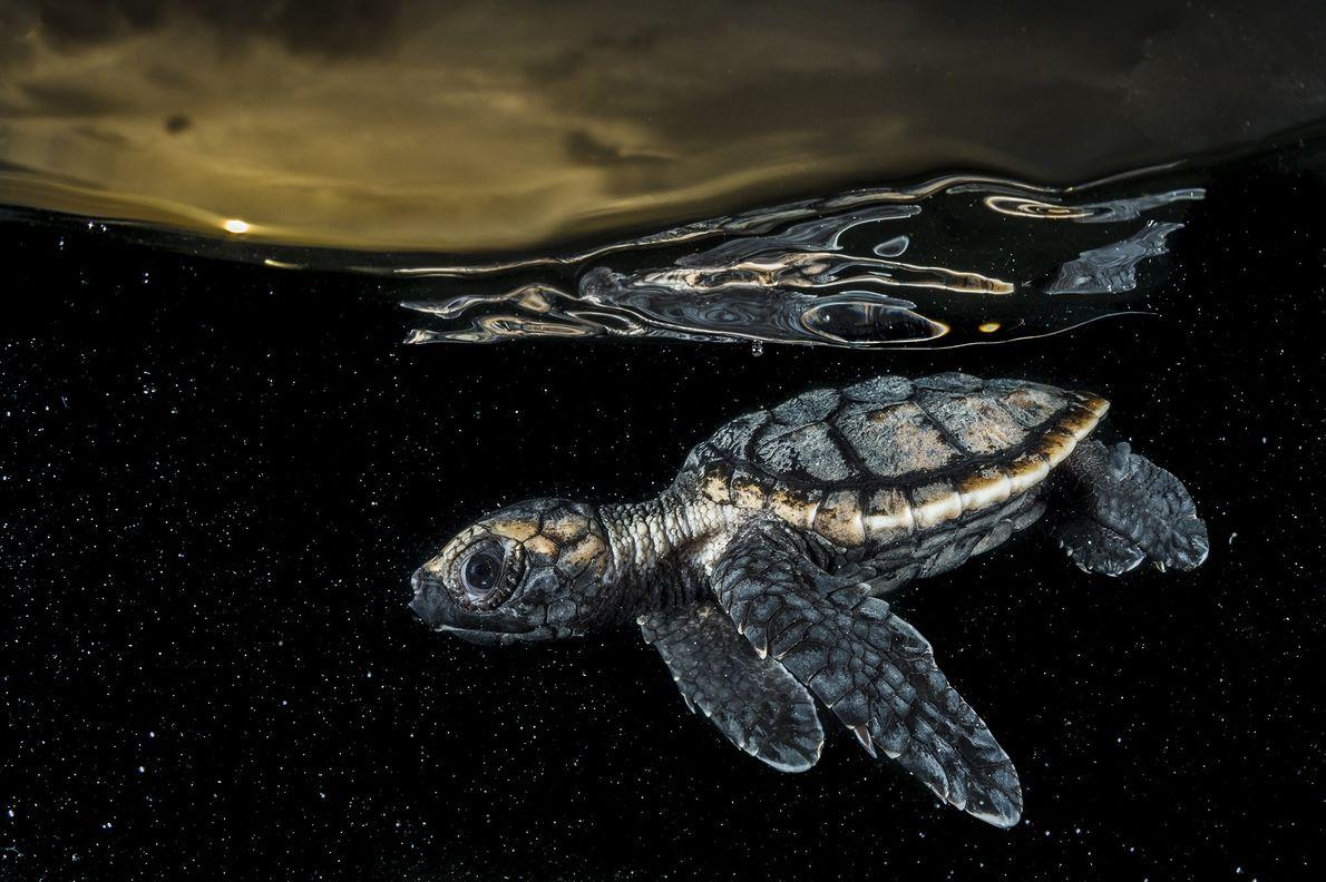 Una cría de tortuga carey en peligro crítico de extinción se aleja de la orilla en ...
