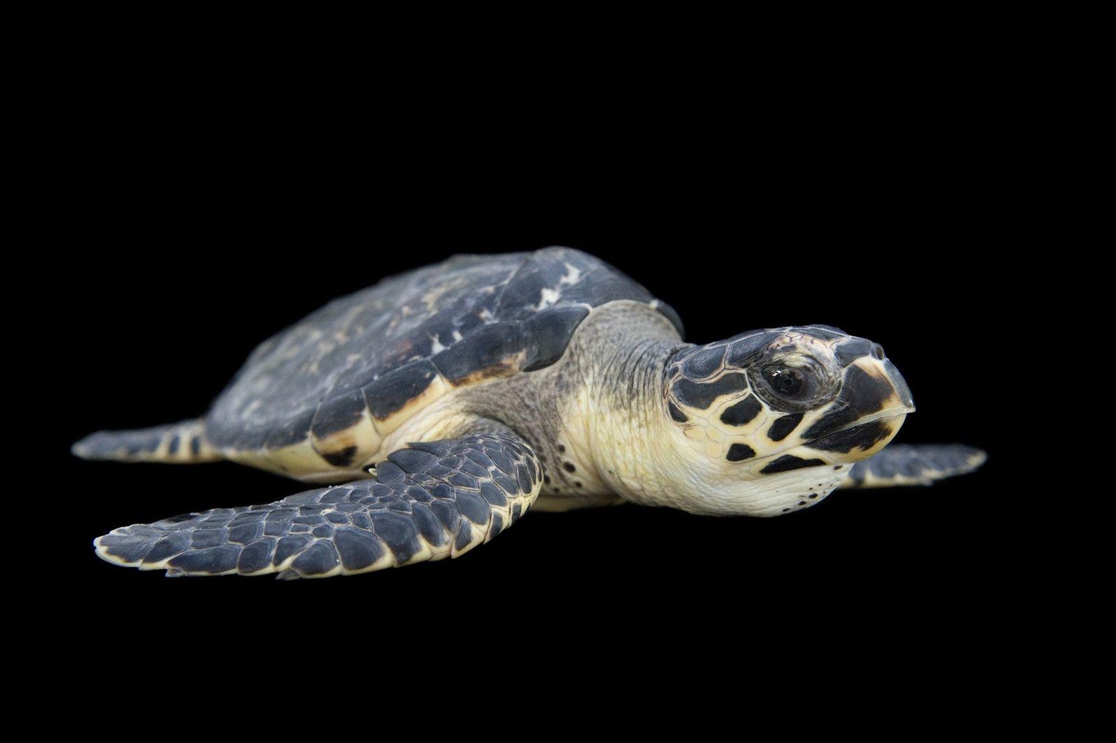La tortuga carey, en peligro crítico de extinción, es un animal sumamente migratorio que vive en ...