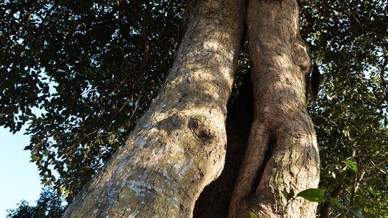 """Un árbol """"Castanopsis"""" de 400 años en Xuancheng, China."""