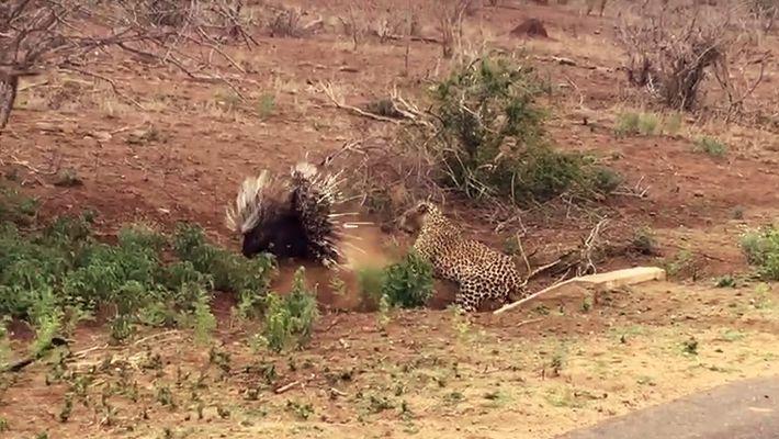 Una espinosa batalla entre un puercoespín y un leopardo