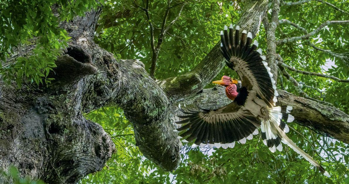 En un bosque en el sur de Tailandia, un bucerótido macho se acerca a un árbol ...