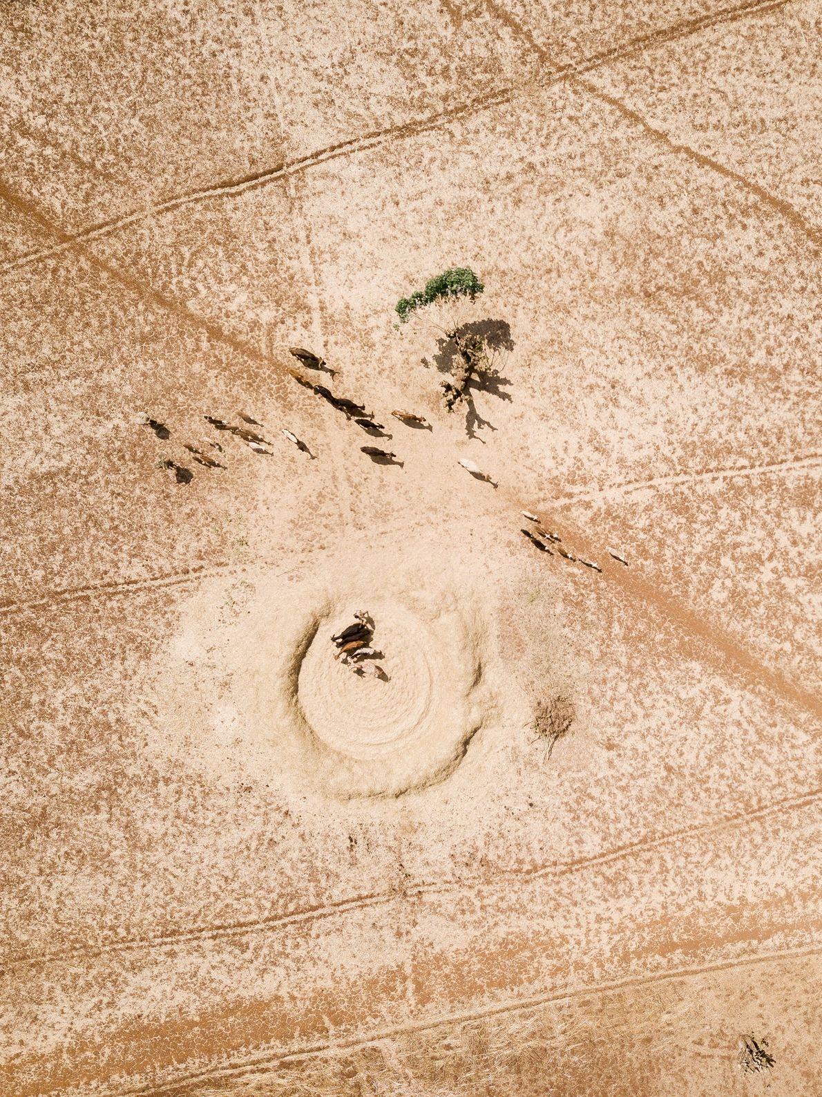 Bueyes caminan por un campo de cereales seco formando chimeneas de polvo cerca de la iglesia ...