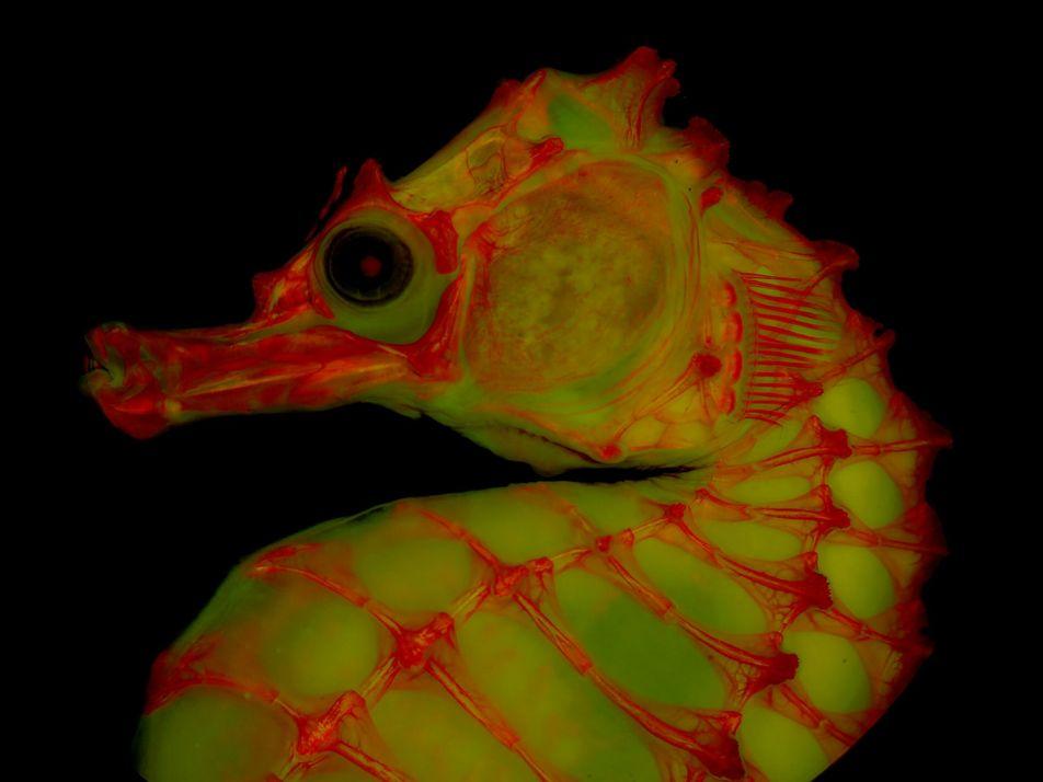 ¿Cómo la gelatina ayuda a los expertos a lograr imágenes más detalladas de esqueletos de animales ...
