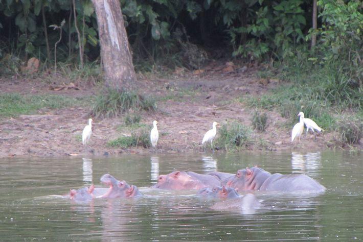 Mientras que la mayoría de los hipopótamos aún vive en la antigua finca de Escobar, algunos ...