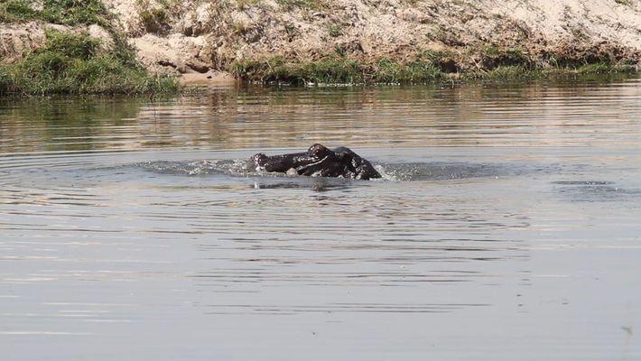 Presunta mamá hipopótamo permanece junto a al cadáver de su cría