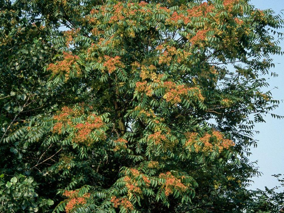 """Expertos prueban si un hongo puede poner freno al """"árbol del cielo"""", una especie invasora"""
