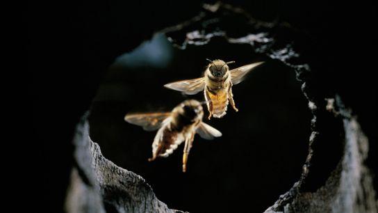 Las abejas asiáticas han desarrollado una variedad de tácticas para protegerse de los ataques de avispones ...