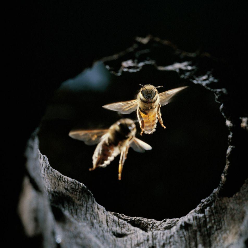 Descubren que las abejas emplean particulares herramientas para evitar ataques de avispones gigantes