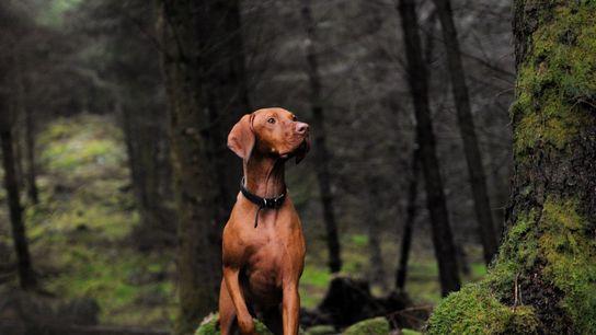 Un vizsla húngaro en Queen Elizabeth Forest Park, Escocia. Históricamente, la raza acompañaba a los cazadores ...