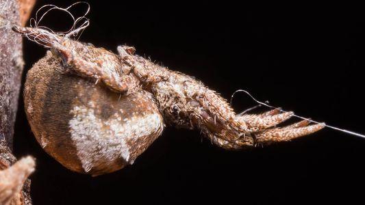 Esta araña puede acelerar más que un cohete