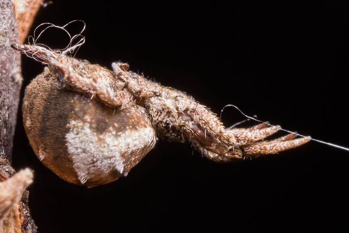 En un experimento de laboratorio, una Hyptiotes cavatus mantiene su telaraña tensa con su línea de ...